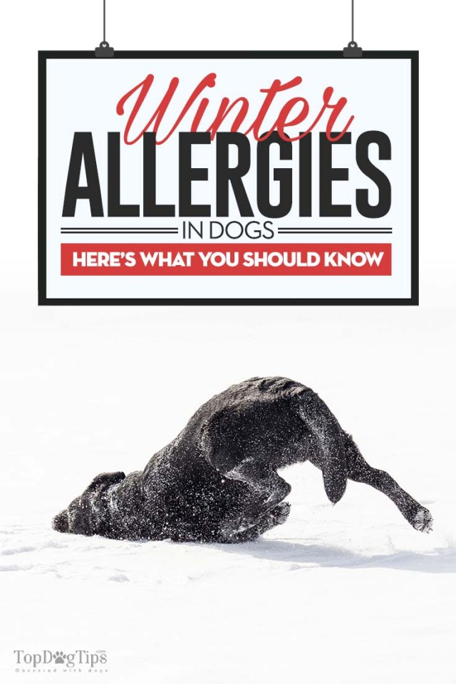 Winter Allergies in Dogs and What to Look Out For