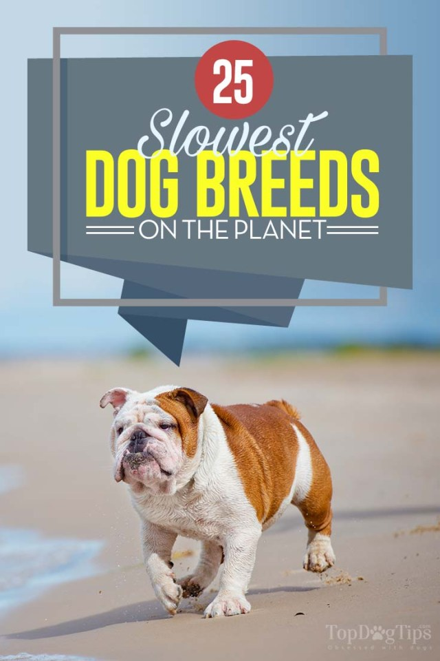 Top 25 Slowest Dog Breeds