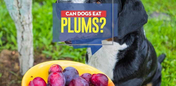 Can I give my dog plums