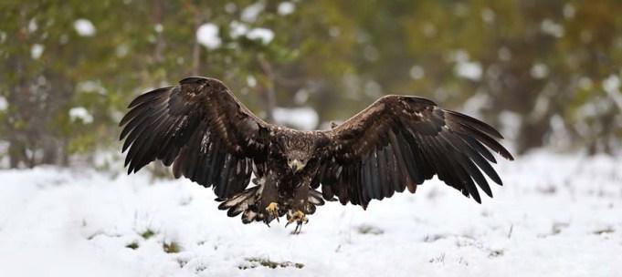 Dog Gets Taken by Raptor Eagle