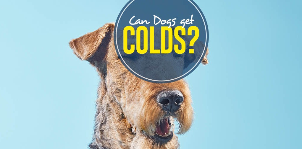 How Can Dogs Get Colds