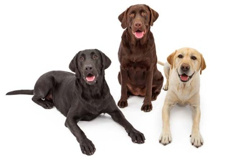 Black, Chocolate and Yellow Labs Can All Be In The Same Litter