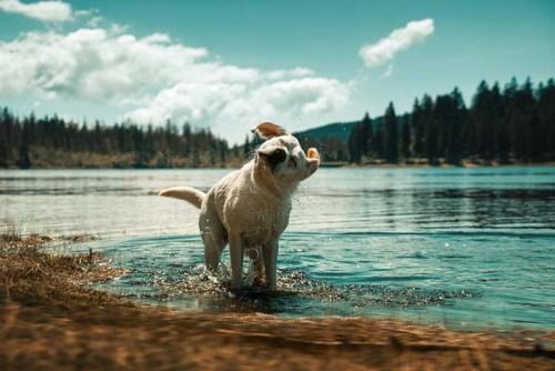 Coolest Labrador Retriever Facts