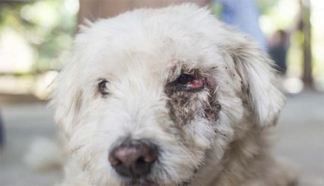 Dog with eye cancer