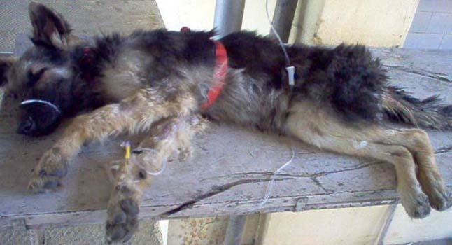 Dog parvo treatment