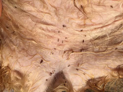 Photo of a flea infestation on a dog