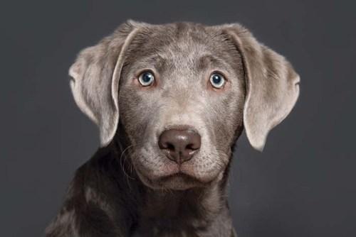 Silver Labradors Exist