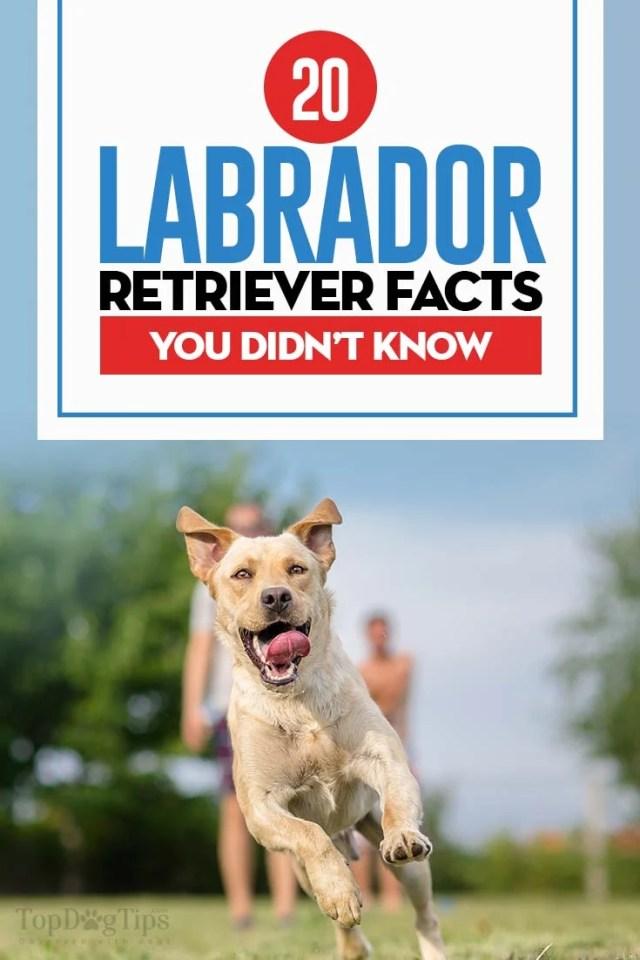 Top 20 Labrador Retriever Facts
