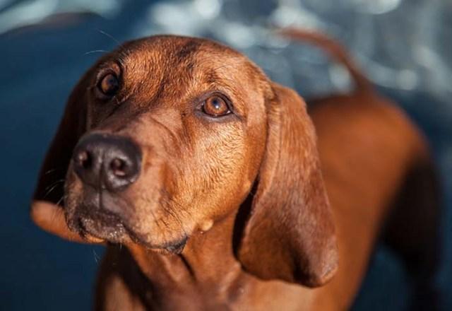 12. Redbone Coonhound