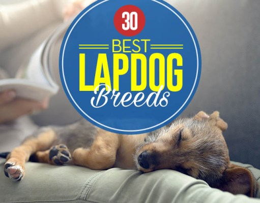 Best Lap Dogs for Cuddly Pet Owners