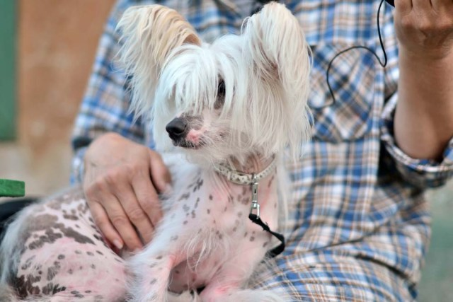 Chinese Crested lap