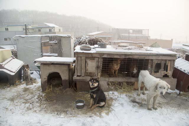 Dogs on a dog meat farm in Korea