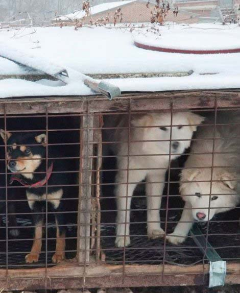 Some of the dogs at the South Korean meat farm that Kenworthy visited last Saturday