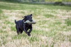 Blind Retrieving dog training
