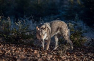 Study - Dogs and Wolves Share Parasites but There's No Increased Risk for Gun Dogs