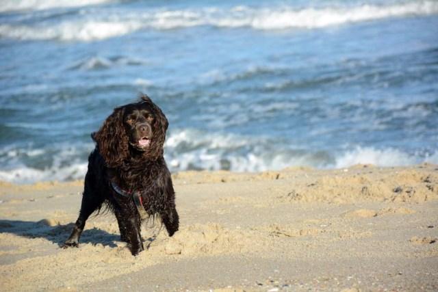 Boykin Spaniel swimming dog breed