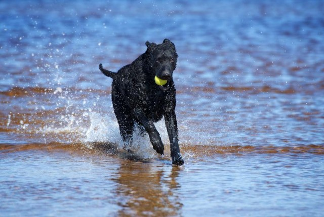 Curly-Coated Retriever dog swimming and playing