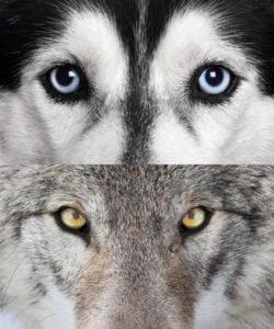 Dog vs Wolf Eyes