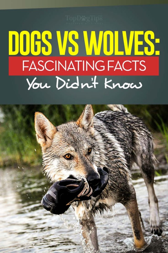 Dogs and Wolves and their 10 Key Differences