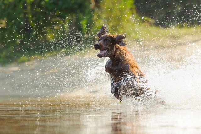 Irish Setter actively playing in the water