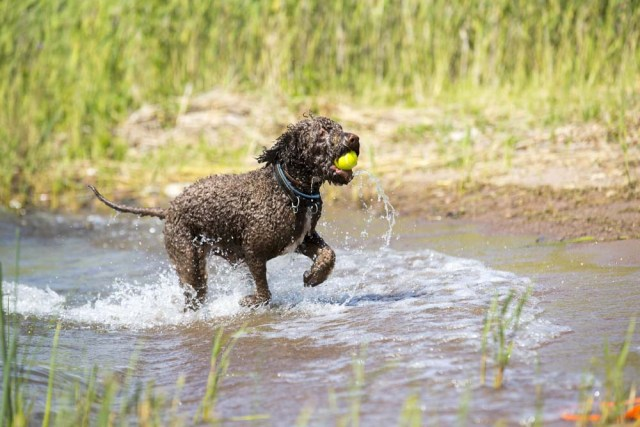 Lagotto Romagnolo is playing in a pool of water