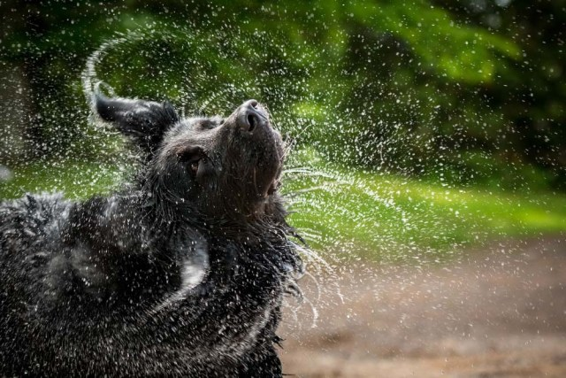 Newfoundland dogs are some of the best swimmers out there