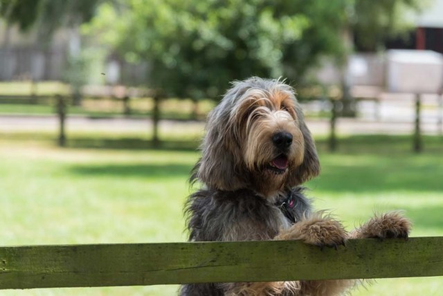 Otterhound is one of the best swimming dogs