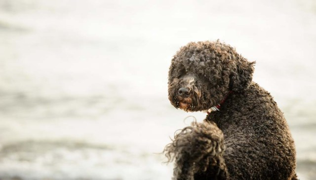 Portuguese Water Dog asking to go for a swim