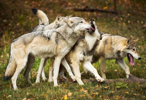Social Structure of Wolves and Dogs