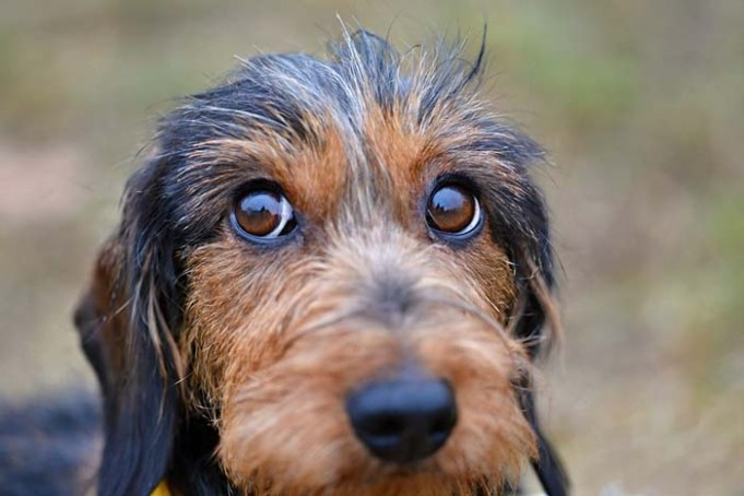 Your Dog Knows You Can't Resist Those Puppy Eyes, Study Says