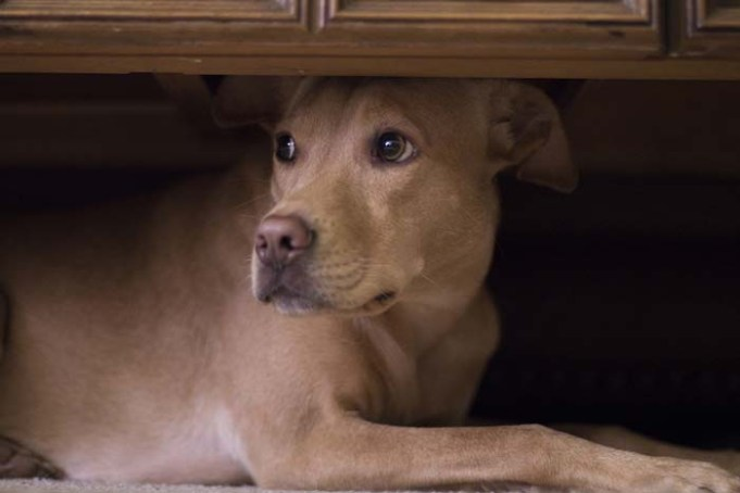 Dogs And Fireworks - What Owners Can Do So Dogs Won't Run Away