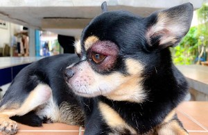 Eye Infections in Dogs - Prevention and Treatment (Based on Studies)