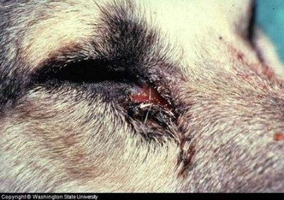 Photo of superficial infection mucocutaneous on the eye of a dog