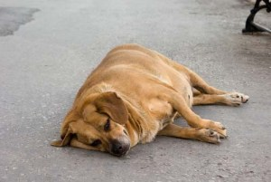 What's Causing the Increased Risk of Heart Disease in Dogs