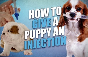 How to Give a Puppy a Shot
