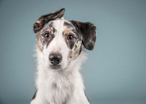 Dog modeling headshot example