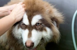 Double Coated Dogs and How to Groom Them
