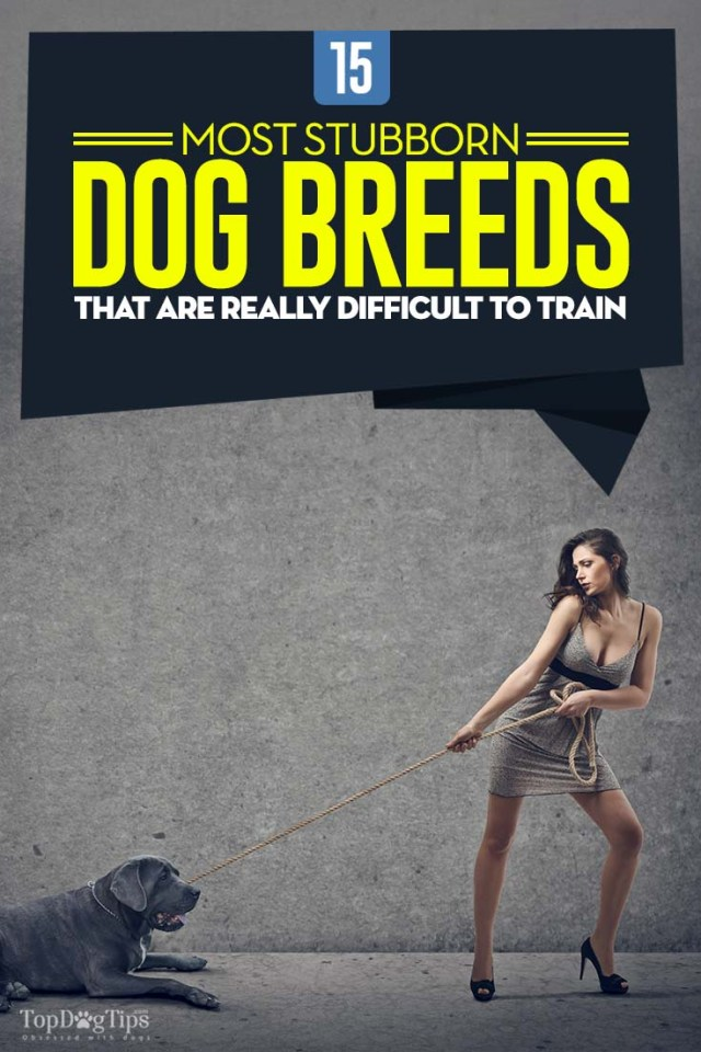 15 Stubborn Dog Breeds That Are Very Difficult to Train