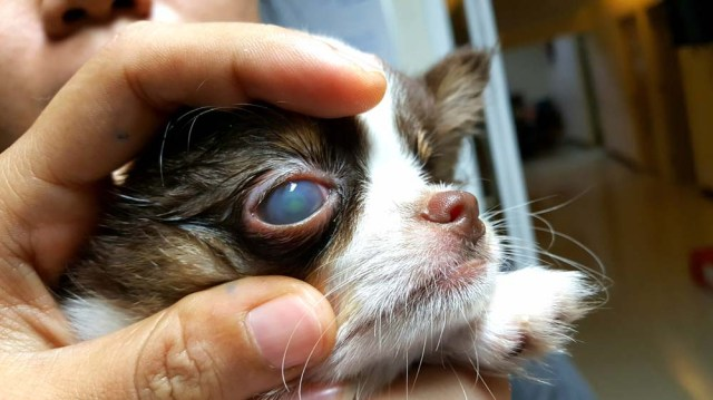 Corneal Ulcer in Dogs