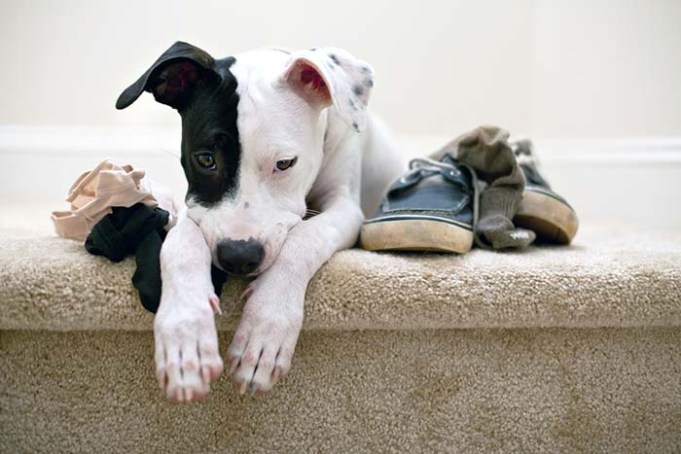 Destructive Chewing - Why Dogs Love to Gnaw and How to Stop This