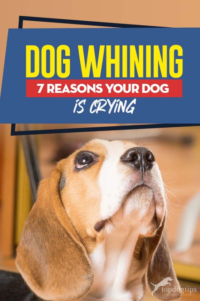 Dog Whining and 7 Reasons Your Dog is Crying