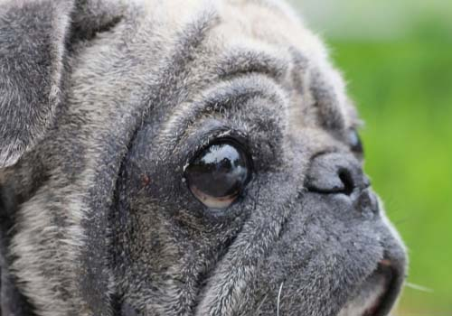Dry Eye Syndrome in Dogs (KCS)