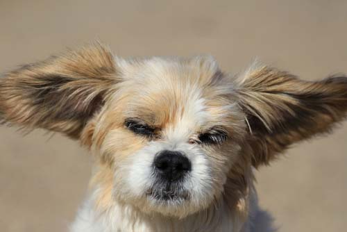 Ear problems in dogs caused by hair
