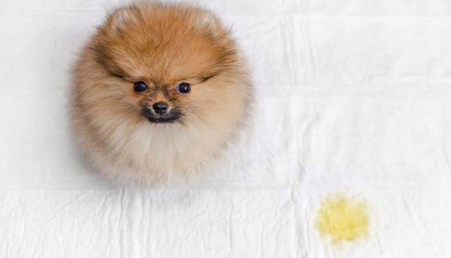 How to Get Dog Pee Out of Mattress - Things to Keep in Mind