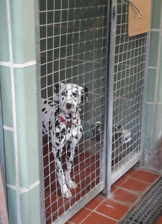 Beau the Dalmatian did not get to grow up the right way as a puppy because she was pretty much isolated for months due to parvovirus