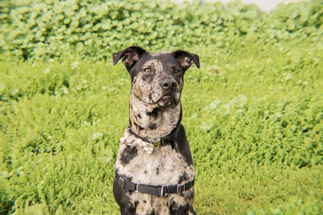 Catahoula Leopard Dog is among the true American dog breeds