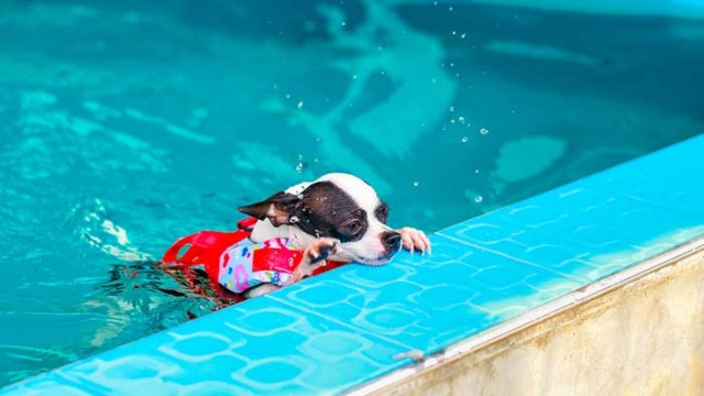 Chihuahua dogs are some of the worst swimmers