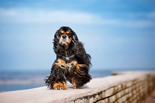 Cocker Spaniel is among the true American dog breeds