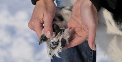 Dog Paw Protection - 5 Ways of Protecting Dog Paws in Winter