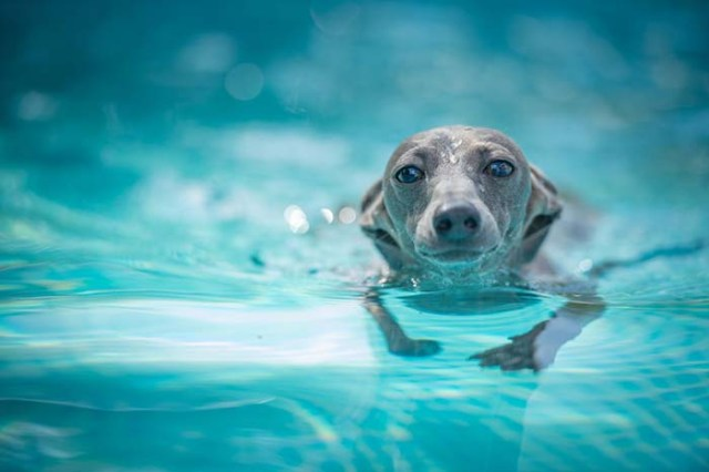 Greyhound dogs are some of the worst swimmers